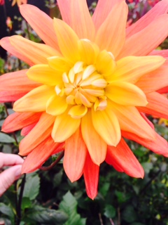 Example of a Not bee friendly flower (I love it anyway!)