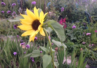 Sunflower, verbena bonariensus, penstemon and cosmos -- a bee banquet!
