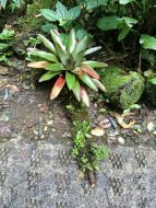 Bromeliads like this one grow in all colors on the ground.