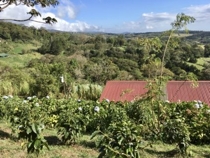 A coffee Plantation
