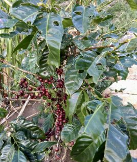 These coffee berries taste sweet before they're processed.