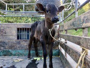 A calf at the coffee plantation.
