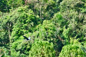 A bird soars over Pacuare River, Costa Rica.
