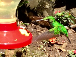 Costa Rican hummingbirds come in many colors and sizes including this iridescent green.