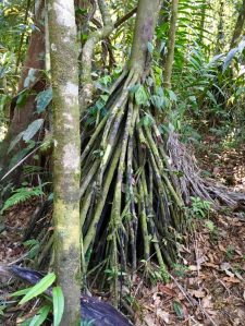 Walking tree's roots seek sun and water.