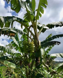 Bananas grow everywhere.