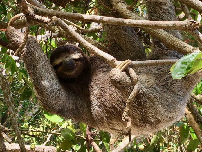 What could ever be better than a sloth that's close enough to touch? One that's hanging from tree branch and smiling at you!