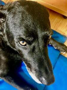 Beautiful face of my black Labrador mix dog