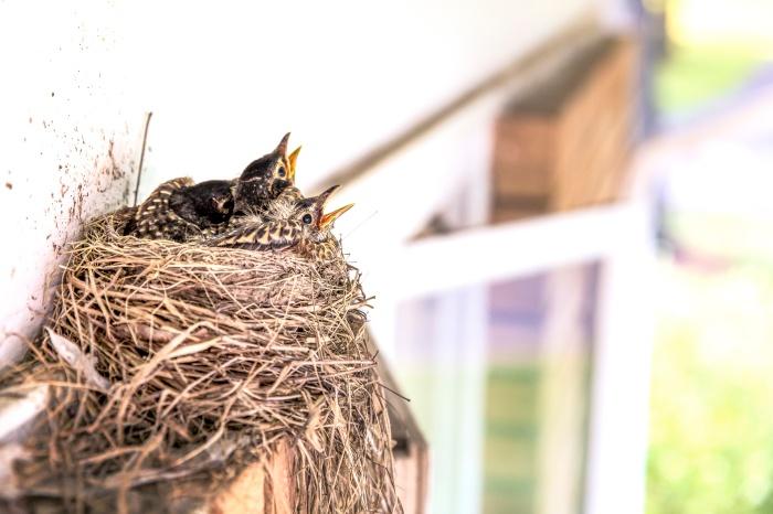 Nest of chicks