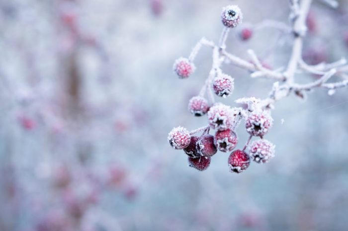 Photo of frosty berries on tree