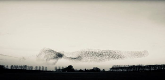 Murmuration of starlings over a field