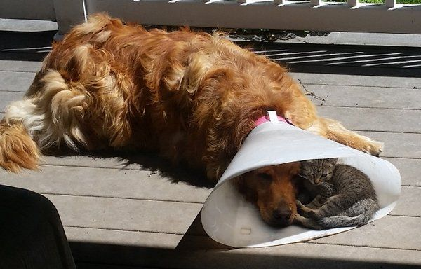 Photo of cat keeping an injured dog company inside of the dog's big cone sort of collar