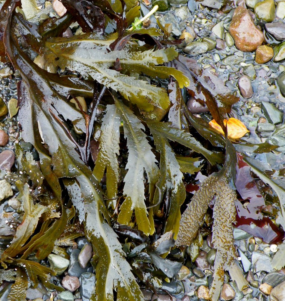 """Guest Blog Post: """"Seaweeds of the Irish Coast,"""" in the exact words of GaiaInAction"""