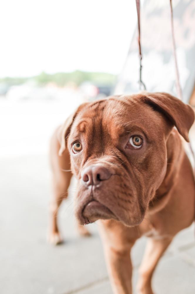 Closeup photo of sad faced brown boxer dog.
