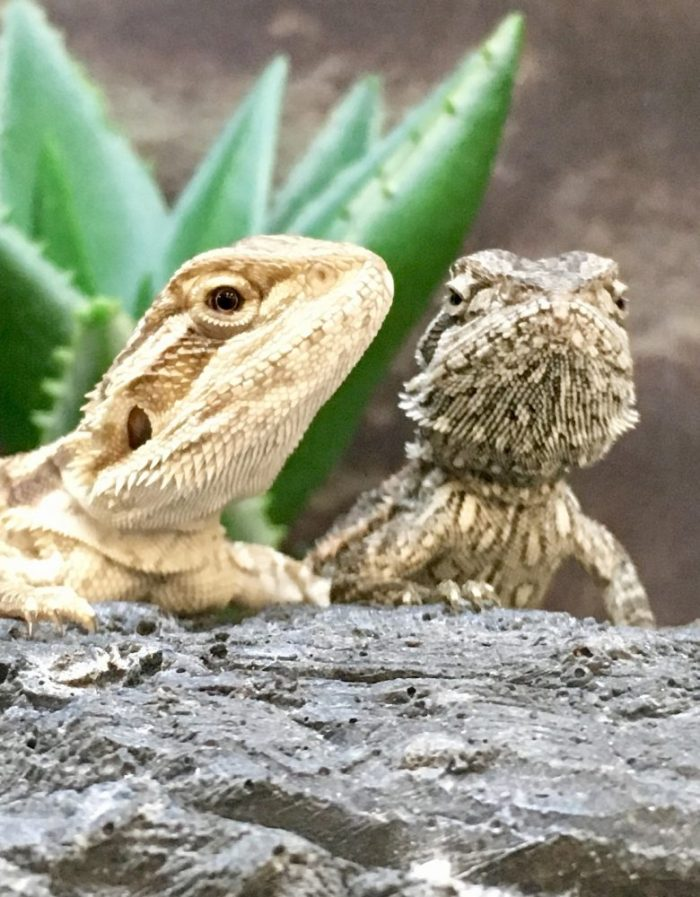 2 Bearded baby boy dragons