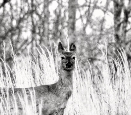 Black and white photo of a deer by Lloyd's Lens Photography LLC