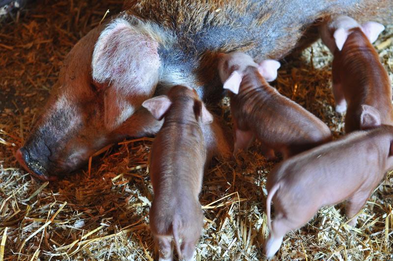 photo of piglets feeding