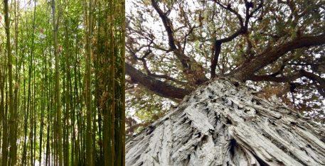 Interesting trees at The Huntington