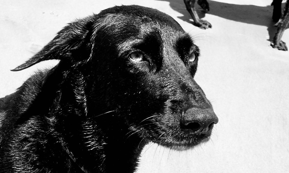 Lola, our black Labrador mix dog, is sorely missed.