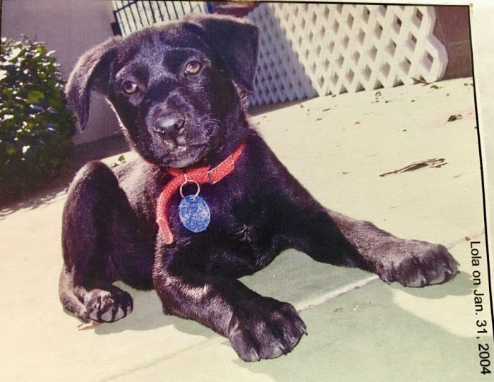 Lola our black Labrador mix dog when she was only a few months old.