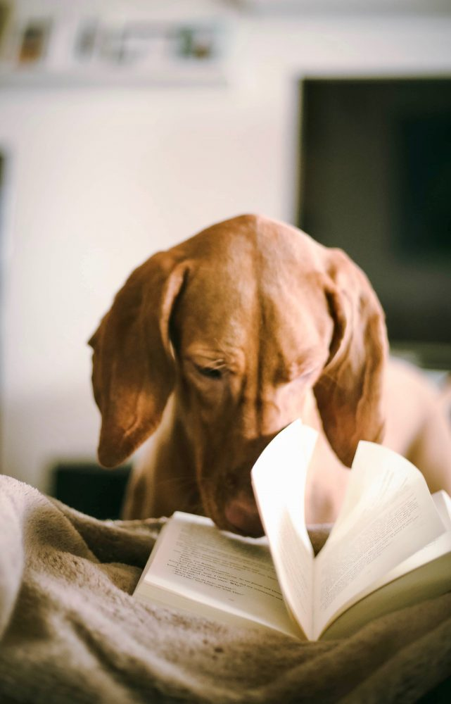 Photo of spaniel dog with his nose in a book, reading.
