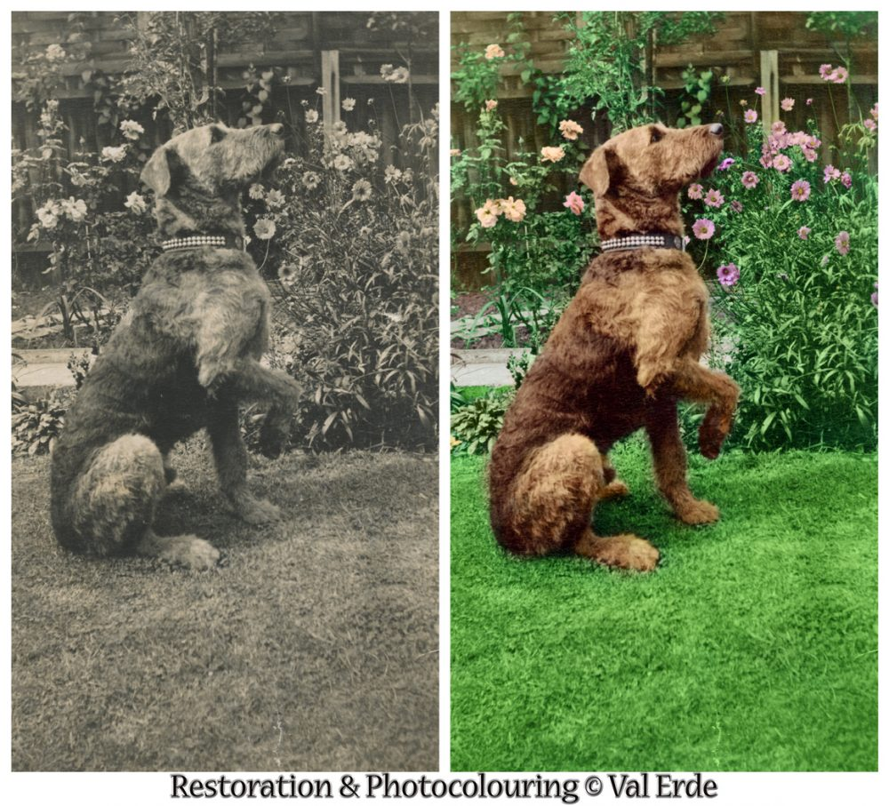 Dog in garden before and after. Photo coloring by Val Erde