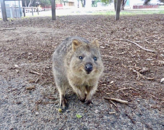 A quokka's smile is infectious.
