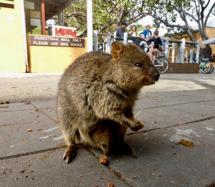 Quokkas look happy all over.
