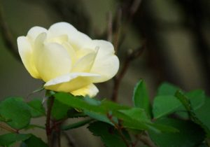 One of our first rose blooms this spring. Photo by Paul A. Broome.
