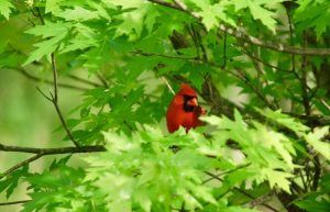 Red bird about to fly to the feeder. Photo by Paul A. Broome