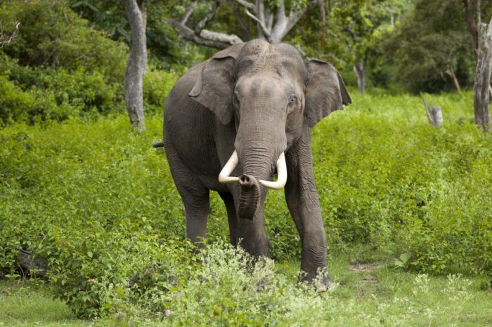 Indian elephant bull in musth in Bandipur National Park , by Yathin S Krishnappa - Own work, CC BY-SA 3.0, https://commons.wikimedia.org/w/index.php?curid=24916395