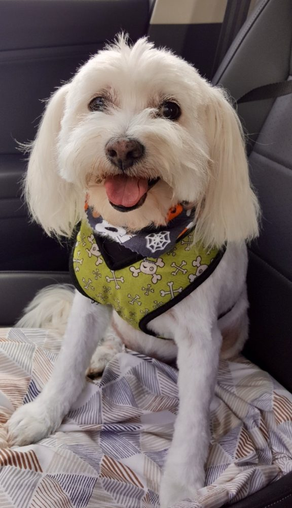 Here's Cousin Ana's Albert, on his way home from the groomer's.