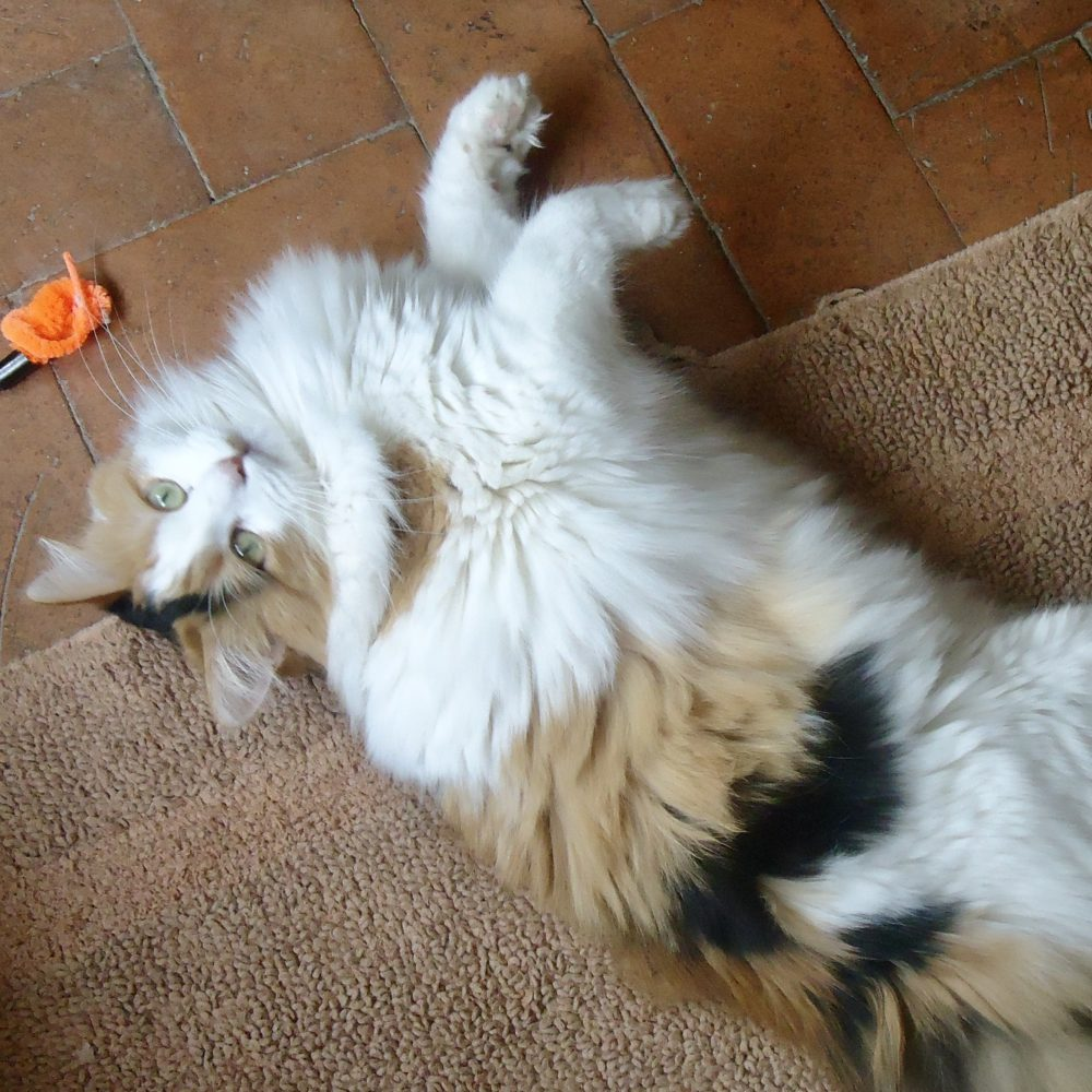 Photo of super fluffy calico cat, Moon Pie.